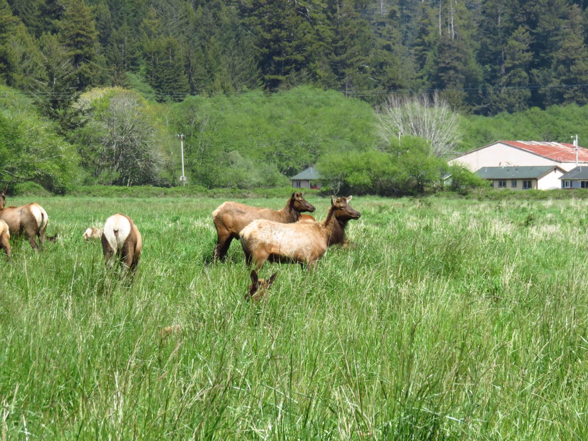 15. Roosevelt Elk