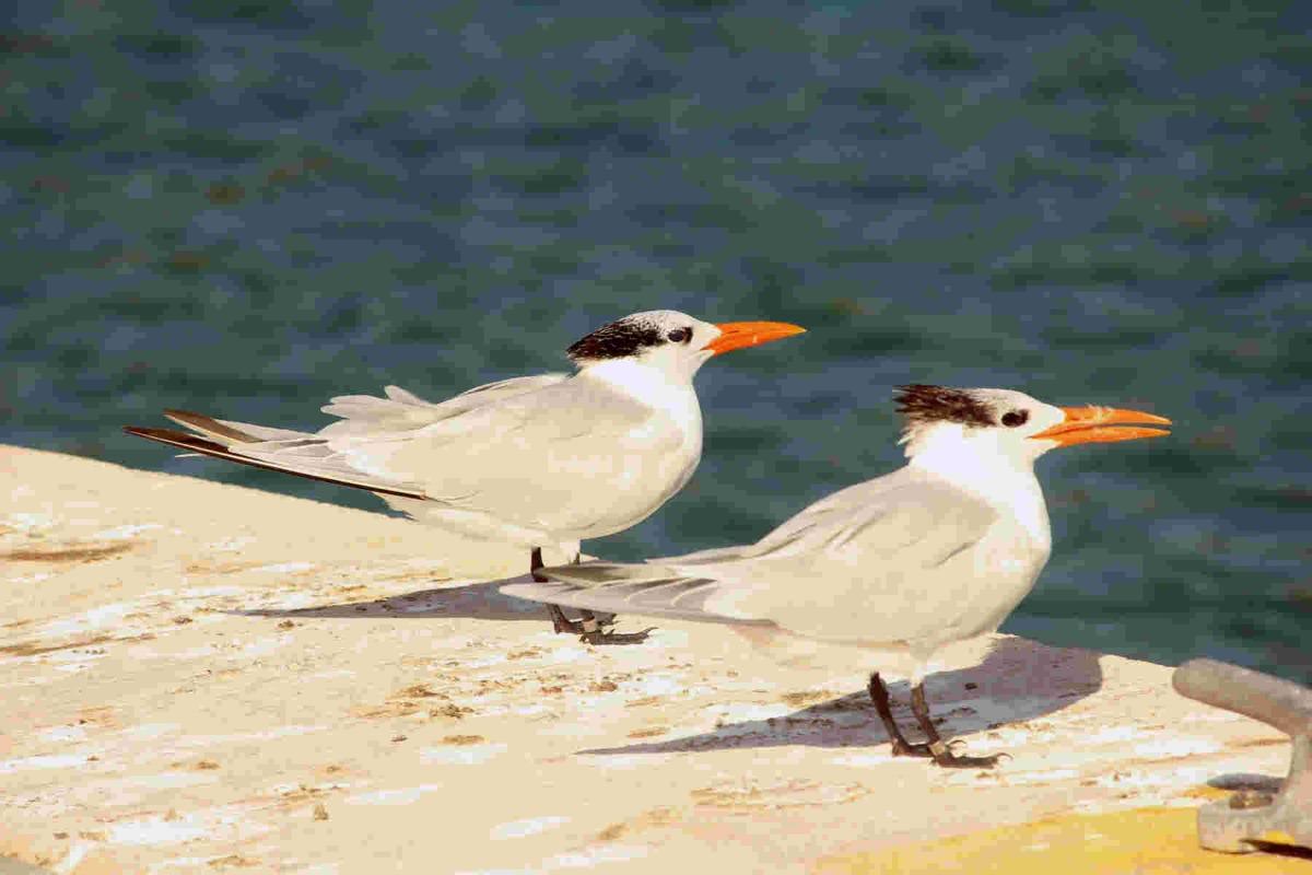 2 royal tern resized