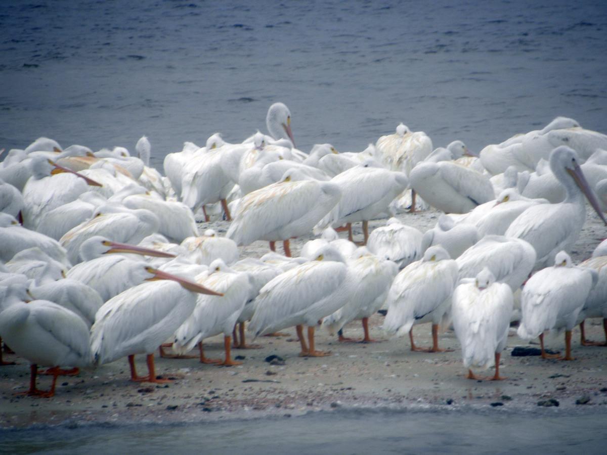 2  white pelicans flock
