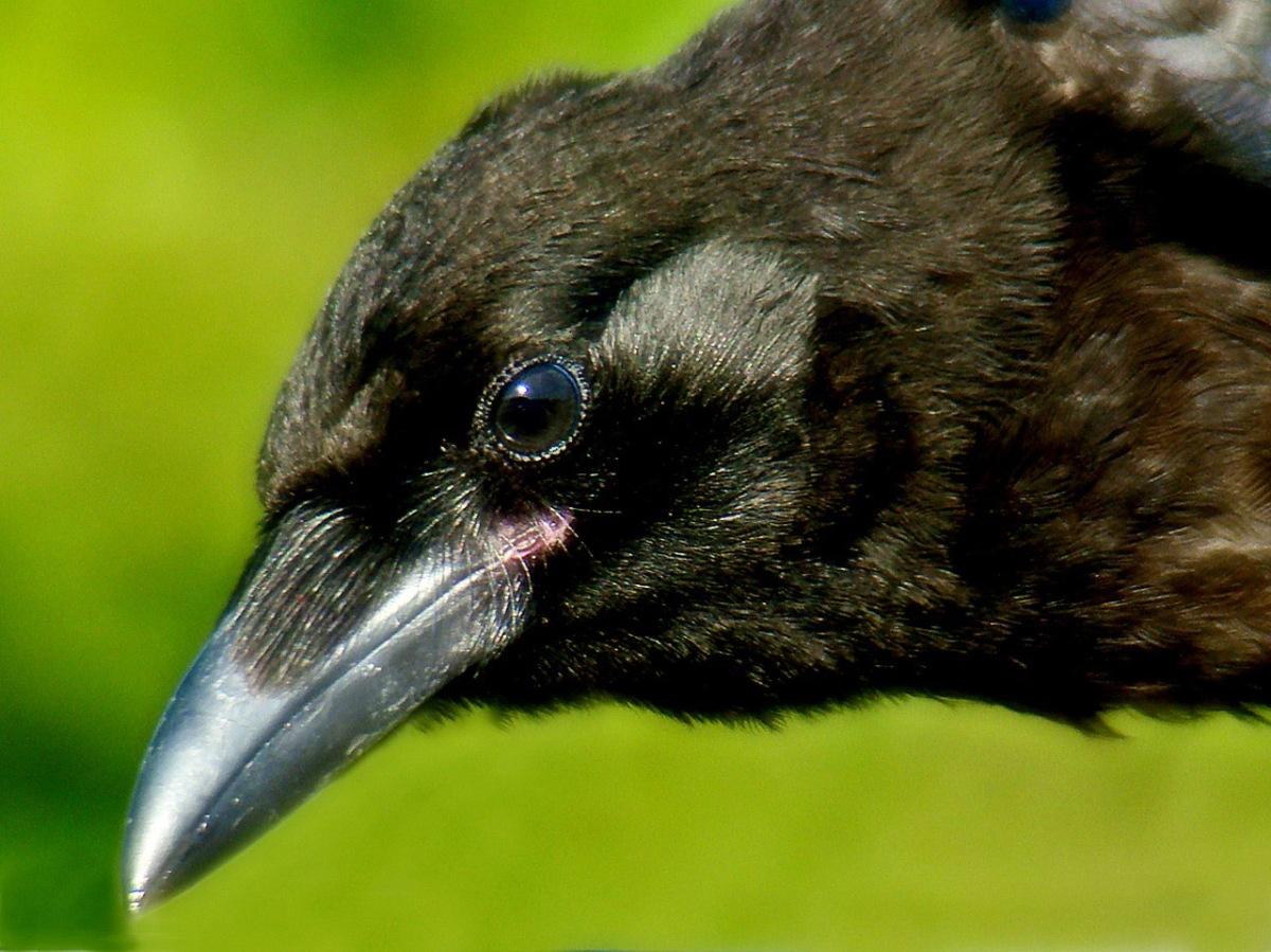 3 crow_resized