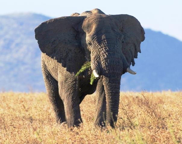 Tanzania; Serengeti; Elephant