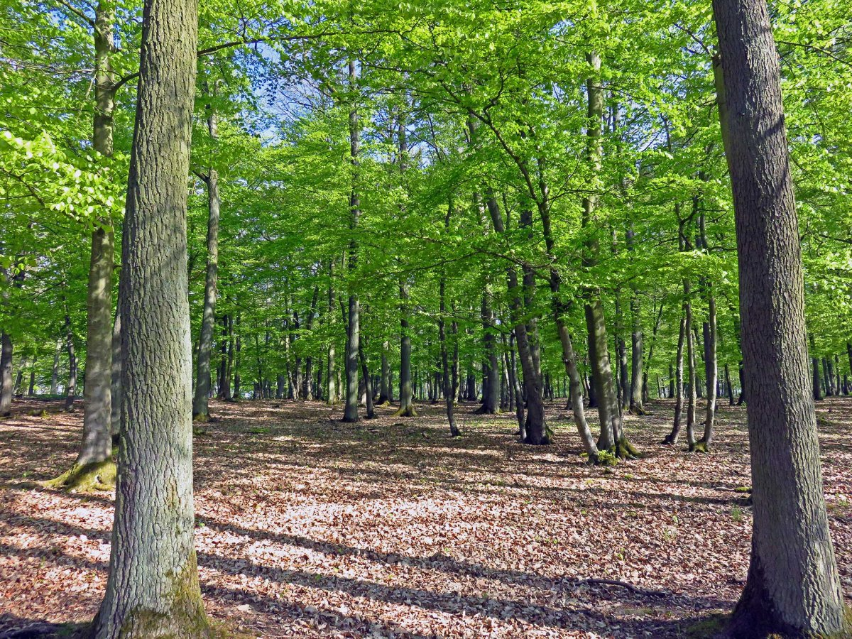 4. Beech forest