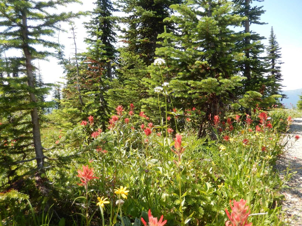 4 Revelstoke flowers Small