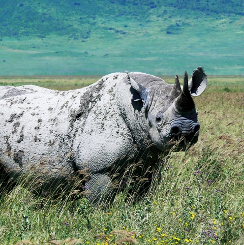Tanzania; Ngorongoro Crater; Rhino