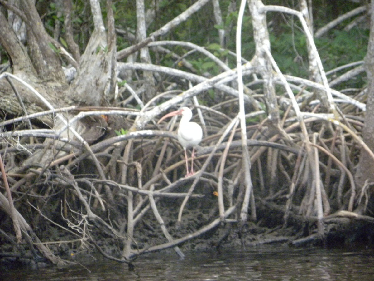 4  white ibis in red mangrove roots
