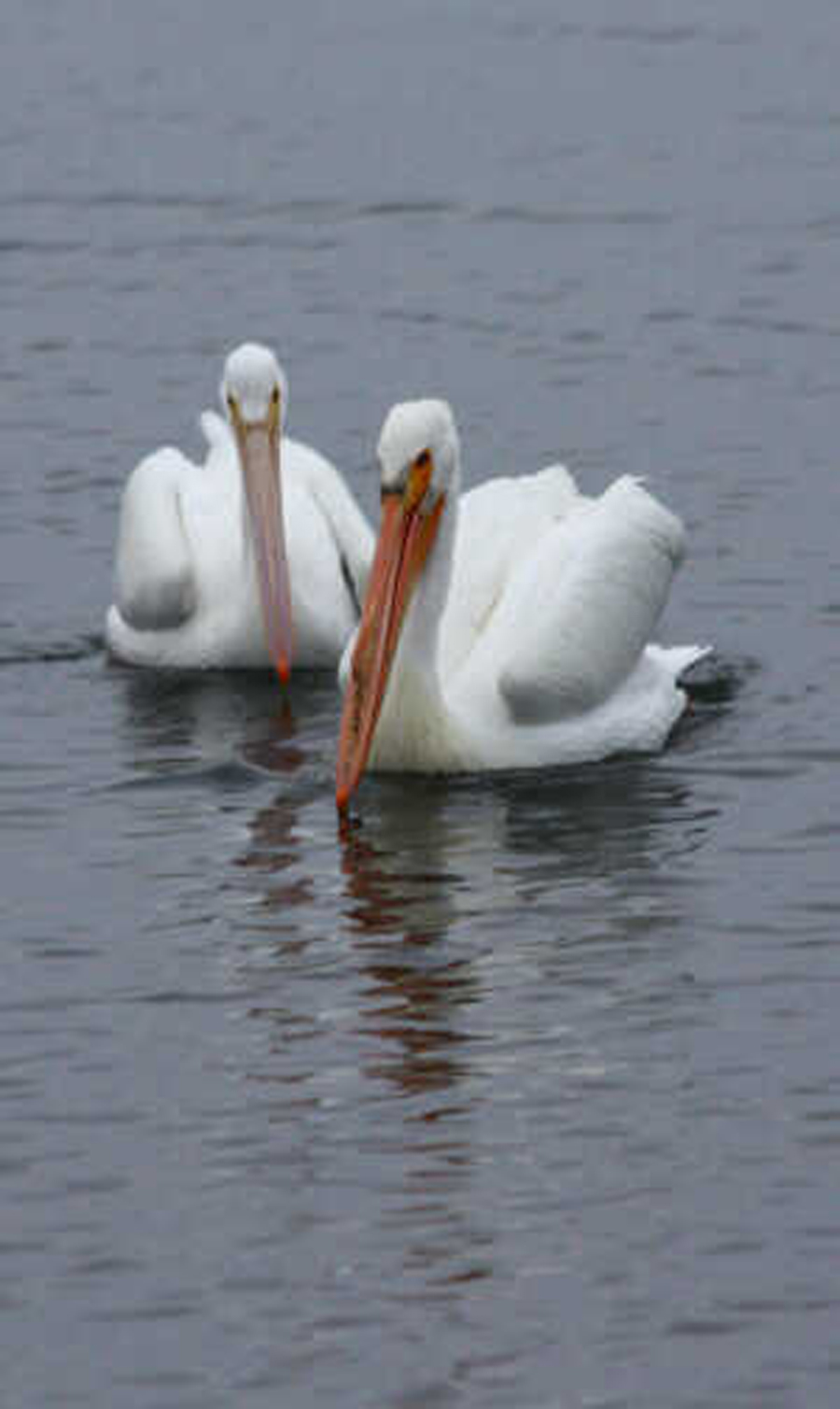 4 white_pelicans resized