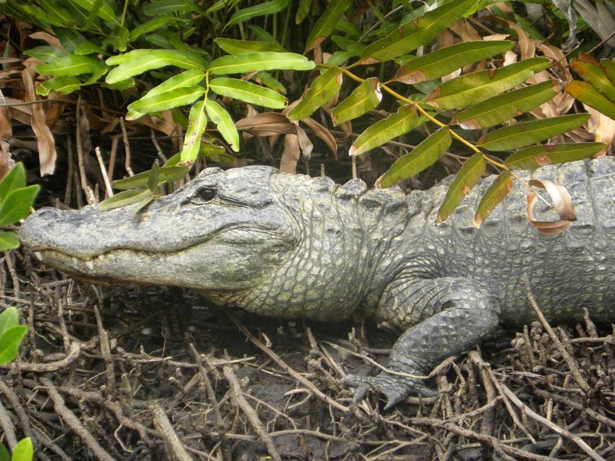 5 gator at everglades