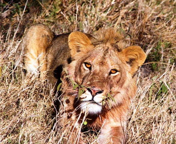 Tanzania; Serengeti; Lion