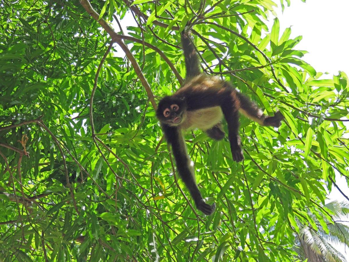 5. Spider monkey