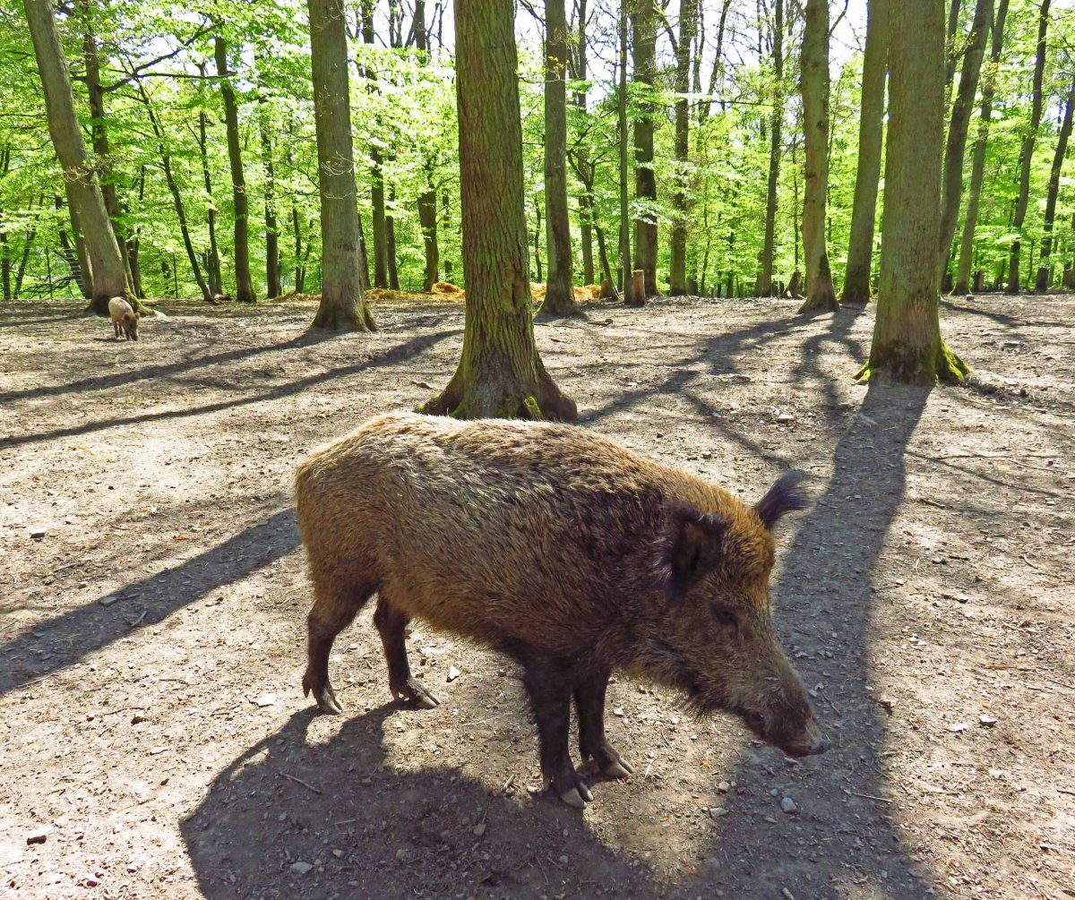 6. Wild boar in the park