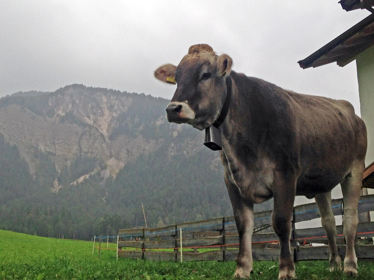 3. Cow in the Dolomites