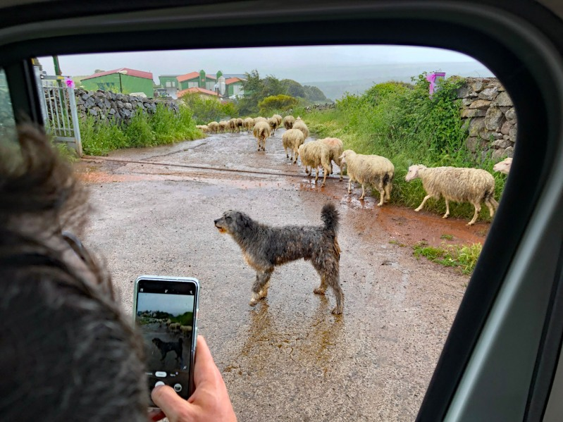 3. Sheep on a road in rain