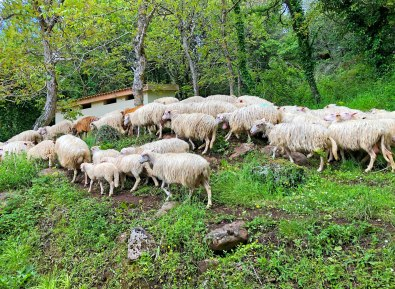 Sheep-in-Sardinian-forest-photo_by_Emma_Krasov
